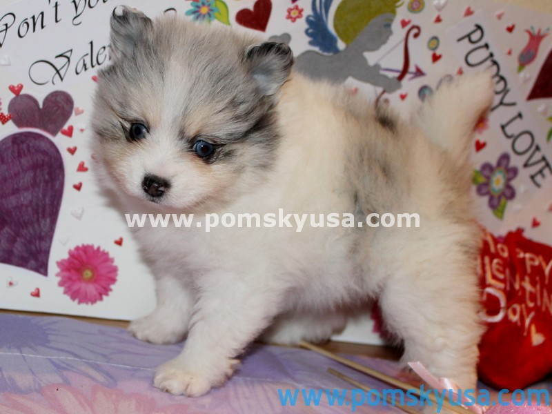 Pomsky USA | Cutest Puppies In USA